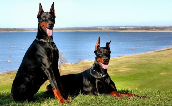 杜宾犬是什么性格的狗